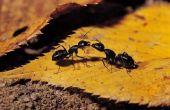 How to Get Rid van mieren bij zwembad