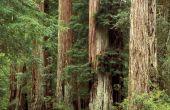 Ter identificatie van Redwood boom ziekten