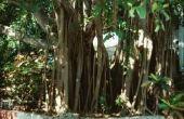 De beste chemische stof voor het doden van de wortels van de Ficus