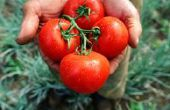 Zal sterven tomaten op 35 graden?