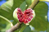 Wat Is de Ficus boom schaal ziekte?