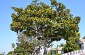 Hoe bemesten Magnolia bomen