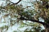 Waarom kale cipres bomen Brown draai in de zomer
