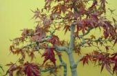 Hoe lang duurt het voor een Japanse esdoorn-boom te groeien?