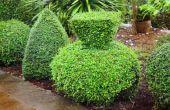 Hoe maak je een Buxus Topiary