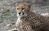 How to Make een jongenskoor Cheetah kostuum