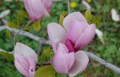Hoe de zorg voor een Chinese Magnoliaboom