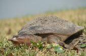 Over Florida Softshell schildpadden