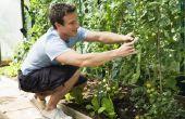 Kan ik Plant tomaten met bieten?
