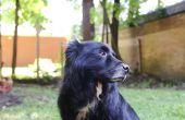 Hoe maak je een hond braaksel met behulp van waterstofperoxide