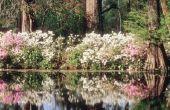 Hoe herken ik het verschil tussen een magnoliaboom & Bush