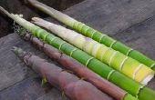 Groeiende eetbare bamboescheuten