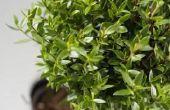 How to Get Rid van kleine zwarte vliegen in de bodem van de Plant
