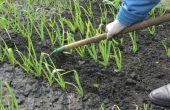 Hoe Plant & groeien knoflook in Oregon