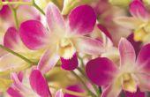 Moet ik gesneden Gele orchidee stengels?