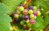 Hoe om te oogsten van druiven van wijnstokken