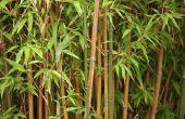 Soorten tribus bamboe voor volle zon gebieden
