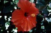Verschil tussen een Hardy Hibiscus en tropische Hibiscus