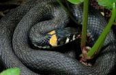 Zwarte slangen met gele ringen in Georgië