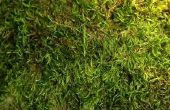 Het verwijderen van mos groeien op Concrete trottoirs en thuis gordelroos