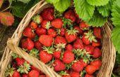 Hoe om te groeien aardbeien