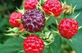How to Make Black Raspberry Pie vulling