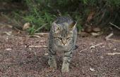 Hoe te behandelen een Sarcoom in een kat