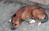 Litteken behandeling voor honden