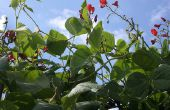 Bruine vlekken op de bladeren van groene bonen