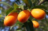 Hoe de zorg voor een Citrus Tree in Arizona