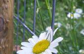 De betekenis van Daisy bloemblaadjes