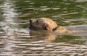 Hoe om te leren een Labrador Puppy zwemmen
