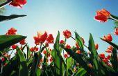 Wat betekent het om Trim het gebladerte voor tulpen?