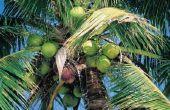 Hoe Kies en Open een kokosnoot om de voordelen van het drinken van kokosnoot Water