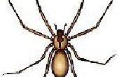 Hoe herken je een Brown Recluse Spider