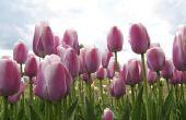 Verzorging van tulpen na bloei