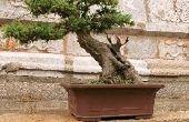 Hoe vaak moet u een Bonsai boom Water?