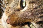 Chemotherapie voor katten