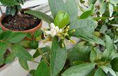 Waarom citroen Fruit valt na de bloei