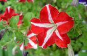 Betekenis van de Petunia-bloem
