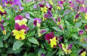 Bloemen die er als viooltjes uitzien