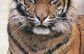 Wat eet een Siberische tijger?