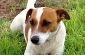 How to Get Rid van Dog geur in een Jack Russell Terrier