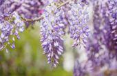 Wat Vine heeft paarse bloemen die er als druiven uitzien?