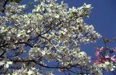 Hoe dicht kan ik een bloeiende kornoelje boom Plant naar mijn huis