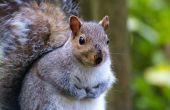 Nesten gewoonten van grijze eekhoorns