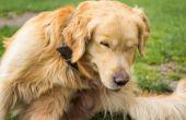 How to Get Rid van droge eczeem op honden