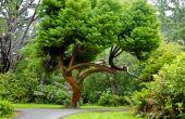 Lijst van groenblijvende bomen