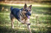 Behandeling van auto-immune ziekten bij honden