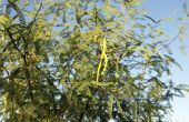 Hoe Mesquite bomen snoeien